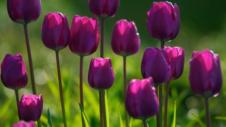 tulips, flowers, close-up