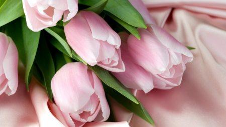 tulips, flowers, delicate