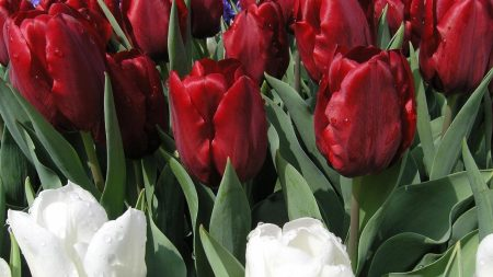 tulips, flowers, dew