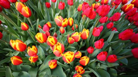 tulips, flowers, different