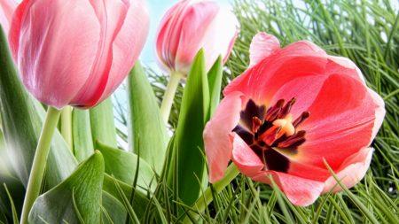 tulips, flowers, dissolved