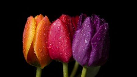 tulips, flowers, drops