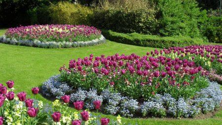 tulips, flowers, flowerbeds