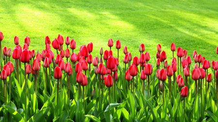 tulips, flowers, grass