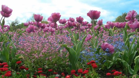 tulips, flowers, lawn