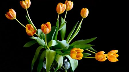 tulips, flowers, leaves