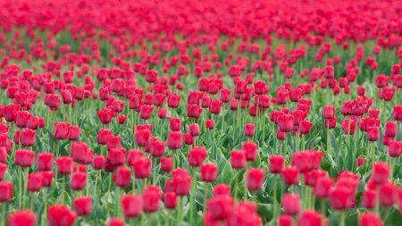 tulips, flowers, lots