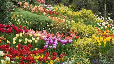tulips, flowers, many
