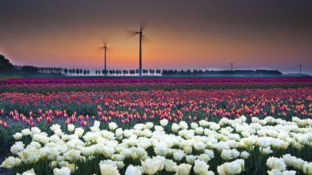 tulips, flowers, many
