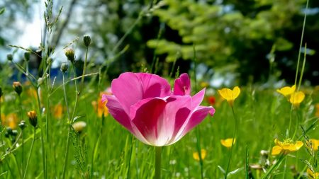 tulips, flowers, meadow