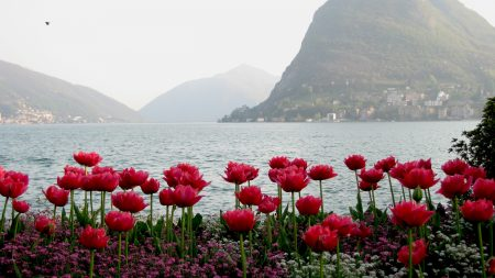 tulips, flowers, mountains