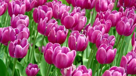 tulips, flowers, much