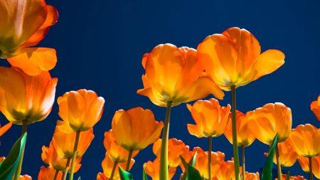 tulips, flowers, night