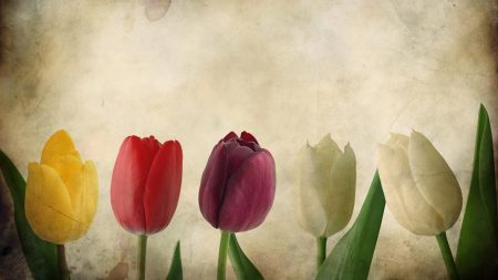 tulips, flowers, number