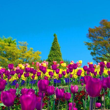 tulips, flowers, pansies