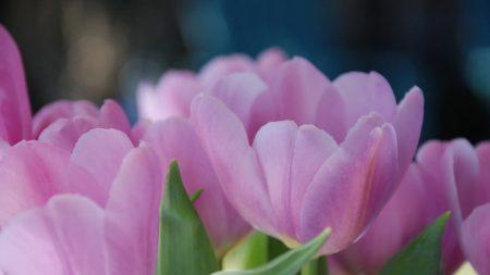 tulips, flowers, petals