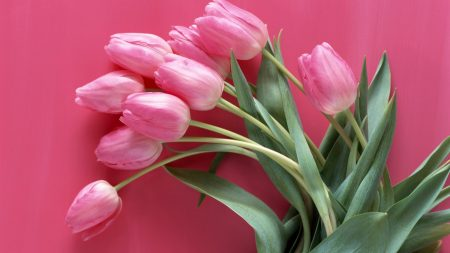 tulips, flowers, pink