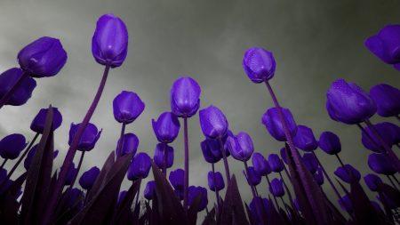 tulips, flowers, purple