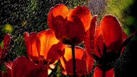tulips, flowers, rain