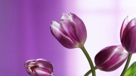 tulips, flowers, stems
