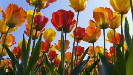 tulips, flowers, sun