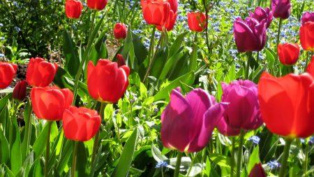 tulips, flowers, sunshine