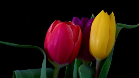 tulips, flowers, three