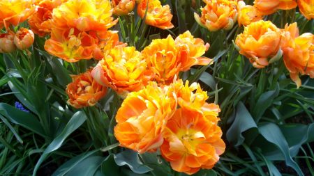 tulips, flowers, unusual