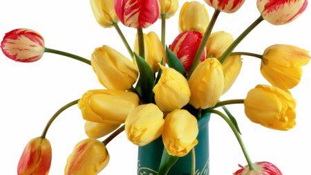 tulips, flowers, variegated