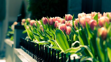 tulips, flowers, wall