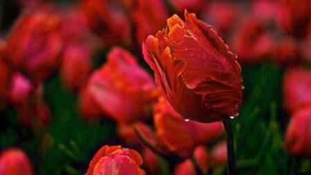 tulips, flowers, wavy