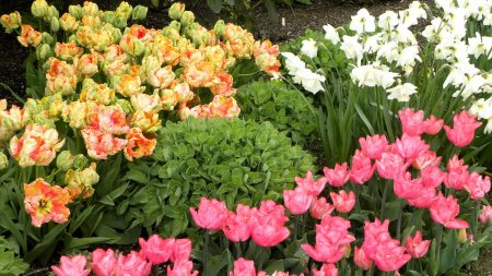 tulips, flowing, daffodils