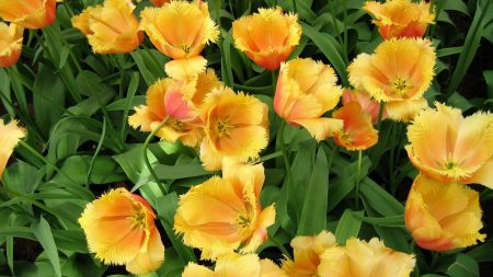 tulips, flowing, double