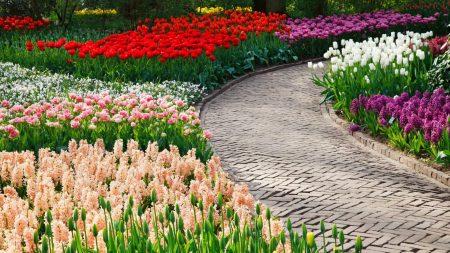 tulips, hyacinths, flowers