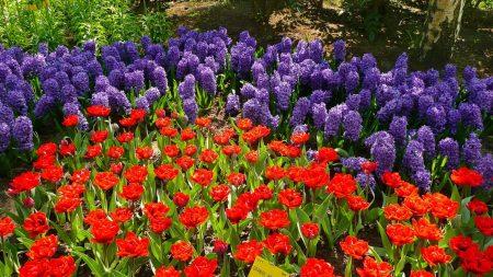 tulips, hyacinths, grouse