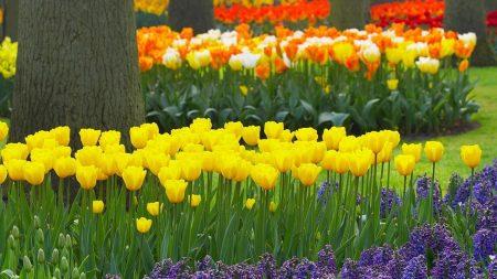 tulips, hyacinths, trees