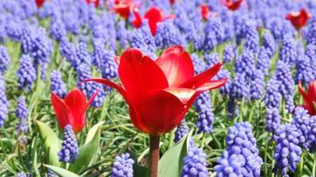 tulips, muscari, flowers