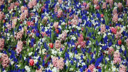 tulips, muscari, hyacinths