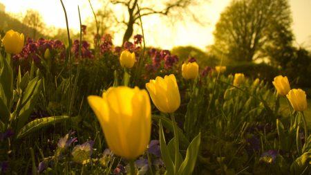tulips, pansies, flowerbed