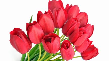 tulips, red, flower