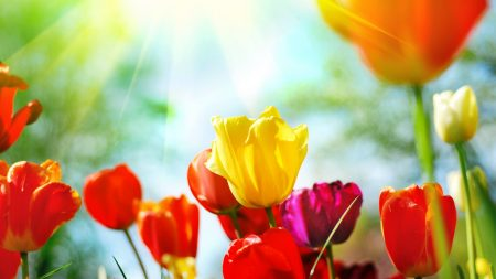 tulips, spring, sun