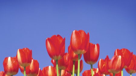 tulips, stems, sky