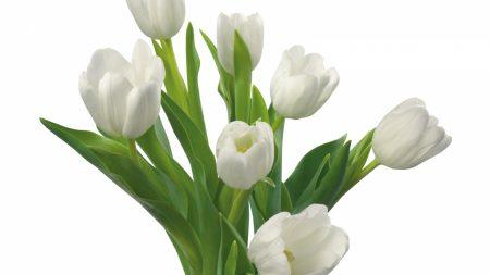tulips, white, flowers