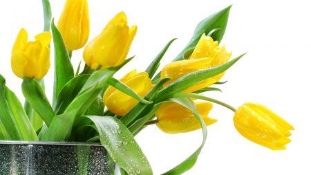 tulips, yellow, flowers