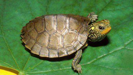 turtle, leaf, shell