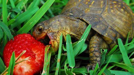 turtle, strawberry, grass