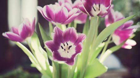 ulips, flowers, stamens