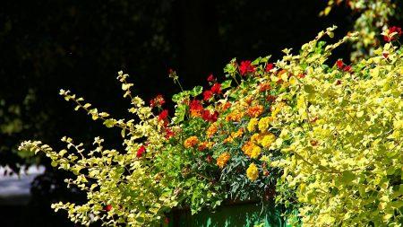 velvet ribbon, geranium, flowerbed
