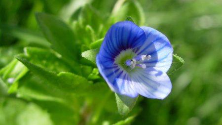 violet, flower, blue