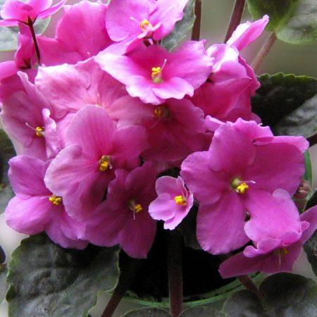 violet, flower, indoor